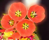 五朵开放郁金香花从上面 免版税库存图片