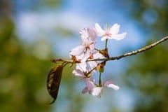 五朵桃红色樱桃花和一片叶子群 免版税图库摄影