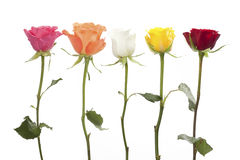 五朵玫瑰用不同的颜色 免版税库存图片