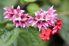 五朵瓣红色紫色花 免版税图库摄影
