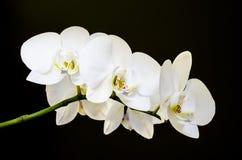 五朵白色兰花 免版税库存照片