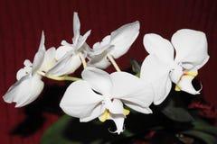五朵白色兰花 库存图片