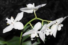 五朵白色兰花 库存照片