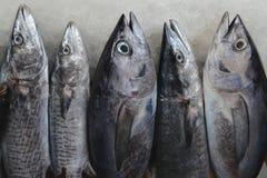 五条灰色深海鱼金枪鱼,在冰,开放嘴,黑眼睛,新鲜的早晨抓住连续说谎在市场上的待售 免版税库存图片
