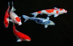 五条koi鱼在池塘 免版税库存照片