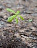 五片叶子橡木新芽 库存照片