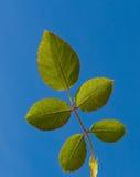 五片叶子玫瑰色天空 库存照片