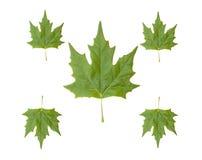 五片绿色叶子 免版税库存照片