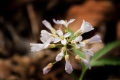 五被分开的Toothwort -碎米荠属植物连接 免版税库存图片