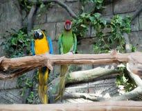 五颜六色一个对金刚鹦鹉,坐分支 免版税库存图片