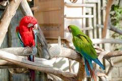 五颜六色一个对金刚鹦鹉,坐分支 库存照片