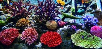 五颜六色与在一辆海洋水族馆坦克的珊瑚 库存照片