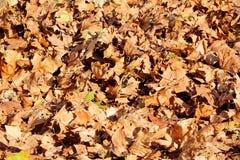 五颜六色和棕色秋叶、纹理、材料和背景 留下从树,关闭的叶子  免版税库存图片
