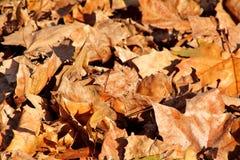五颜六色和棕色秋叶、纹理、材料和背景 留下从树,关闭的叶子  免版税库存照片