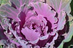 五颜六色在冷气候的圆白菜 免版税库存图片