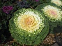 五颜六色在冷气候的圆白菜 免版税库存照片