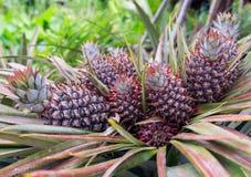 五颜六色小的菠萝 免版税库存照片