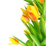 五颜六色开花的束春天黄色郁金香的花是孤立 免版税库存照片