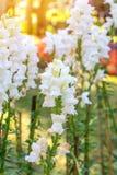 五颜六色白色snapdragon花在美丽的庭院里 免版税库存照片