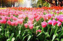 五颜六色的与绿色词根、叶子和水下落的花甜桃红色郁金香开花的大小组在自然庭院里 库存图片
