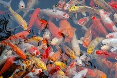 五颜六色的中国鲤鱼鱼在湖 库存照片