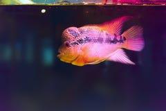 五颜六色的丽鱼科鱼 在水族馆的犀牛鱼 免版税库存图片