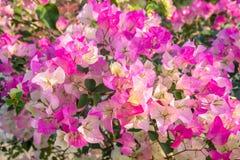 五颜六色的九重葛flower& x28;热带flowers& x29; 花田美好在从事园艺背景 免版税库存照片