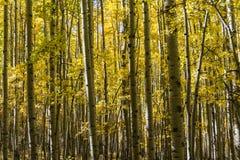 五颜六色的亚斯本树丛 免版税库存图片