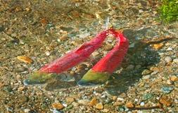 五颜六色的产生的红鲑鱼游泳在河,不列颠哥伦比亚省,加拿大 免版税库存图片