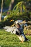 五颜六色的公野鸭鸭子或拍动它的翼的野鸭 图库摄影