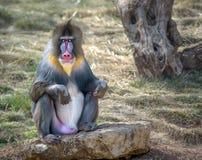 五颜六色的公mandrill猴子 免版税库存照片