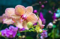 五颜六色的兰花 免版税库存图片