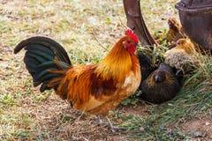 五颜六色的农厂雄鸡 免版税库存图片