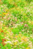 五颜六色的冬天抽象派  吹在风的开花的雏菊行动迷离,纸雏菊的各种各样的颜色在绽放 免版税库存图片