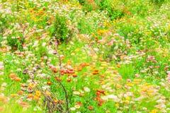 五颜六色的冬天抽象派  吹在风的开花的雏菊行动迷离,纸雏菊的各种各样的颜色在绽放 库存图片