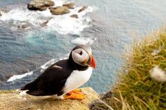 五颜六色的冰岛latrabjarg海鹦 免版税库存照片