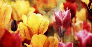 五颜六色的减速火箭的郁金香 免版税库存照片