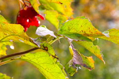 五颜六色的叶子和莓果 库存照片