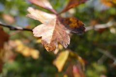 五颜六色的叶子在与露滴的秋天 免版税图库摄影