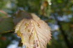 五颜六色的叶子在与露滴的秋天 免版税库存图片