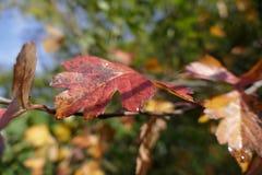 五颜六色的叶子在与露滴的秋天 库存图片