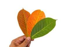五颜六色的叶子在手中 库存图片