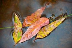 五颜六色的叶子在水中 免版税图库摄影