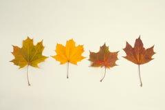 五颜六色的叶子槭树 背景美丽的纸照片葡萄酒 库存图片