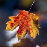 五颜六色的叶子槭树 库存照片