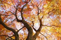 五颜六色的叶子槭树 免版税图库摄影