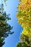五颜六色的叶子槭树 免版税库存照片