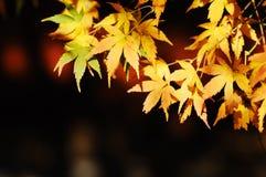 五颜六色的叶子槭树 图库摄影