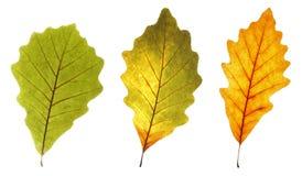 五颜六色的叶子橡木 库存照片
