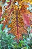 五颜六色的叶子橡木 图库摄影